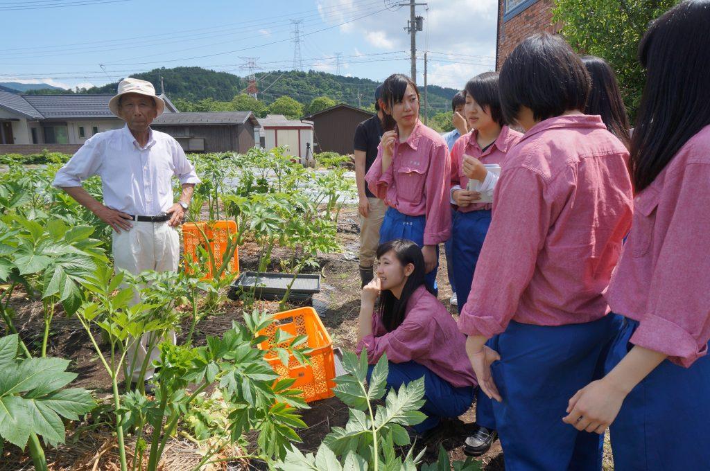 地域の新たな特産品に!八日市南高校の生徒が「明日葉」を収穫。